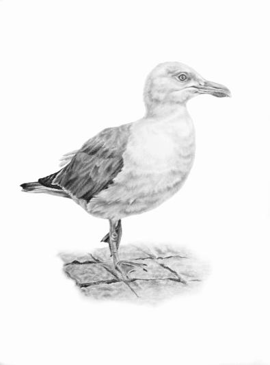 Seagull Srutt
