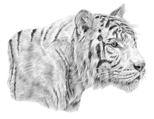 white-tiger-final