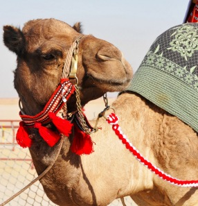 Camel (Christa)