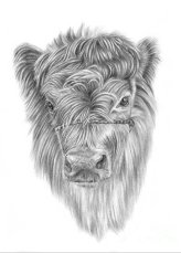 highland-calf-pencil-paws (1)