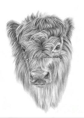highland-calf-pencil-paws (1)