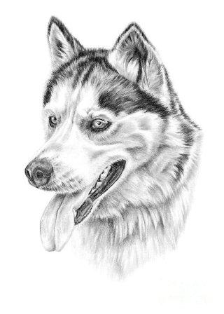 siberian-husky-pencil-paws (1)