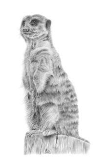 Meerkatfinal